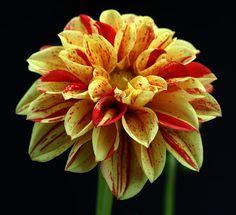 dahlia - barberpole | dahlias | pinterest | dahlia, flowers and