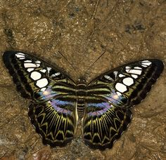 Clipper Butterfly (parthenos sylvia), south/southeast Asia. Photo J.P. Lawrence