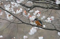 Kingfisher on Sakura by Mubi.A