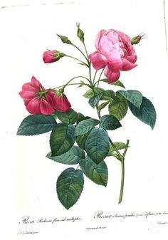 Les roses de Pierre-Joseph redouté