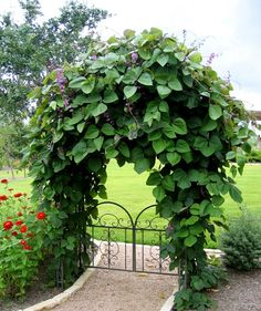 5 Hyacinth Bean (Lablab purpureus) seeds planted on each side of arch in April. Photo taken in July.