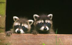 bb racoons