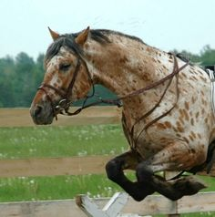 Grand Design - 1999 Appaloosa Friesian blood horse