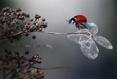 Ladybird on old hydrangea