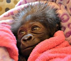 Baby gorilla on her way to the Cincinnati Zoo to new surrogate mothers.