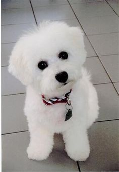 Bichon Frise - this is going to be my next doggy pet. I didn't know anything about them til I stayed with friends who have a Bichon named Buddy. Bichon Frise Breeders, Bichon Dog, Cute Puppies, Dogs And Puppies, Doggies, Baby Animals, Cute Animals, Sweet Dogs, Animal Gato