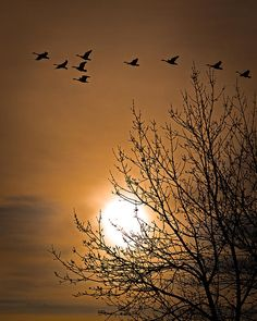 Coming Home In The Spring - Original nature bird photography by Bob Orsillo  Copyright (c)Bob Orsillo / http://orsillo.com All Rights Reserved  Buy art online. Buy photography online.  Canadian Geese returning to home.