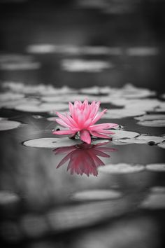 *Lily Pad (Touch of Color)
