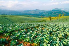 Cabbage field by Pushish Images on @creativemarket