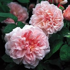 Eglantyne:  Regarded as one of the most beautiful of English Roses.  Very hardy, strong Old Rose fragrance, good repeat.