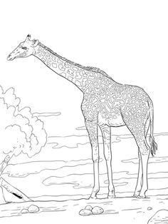 Pequeño Kiwi Moteado Realista Dibujo para colorear