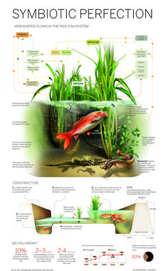 Symbiotic Perfection: How Energy Flows In The Rice-Fish System [INFOGRAPHIC]