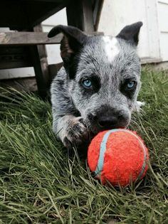 Baby's got blue eyes ♡♡♡ Blue Heeler Aussie Cattle Dog, Austrailian Cattle Dog, Cute Puppies, Cute Dogs, Dogs And Puppies, Doggies, Pitbull, Dog Rules, Working Dogs