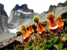 Happy-Alien-(Calceolaria-Uniflora)---This mountain plant is originally from Tierra del Fuego in the southern part of South America. Its yellow, white, and reddish colored flowers look like some form of happy alien.