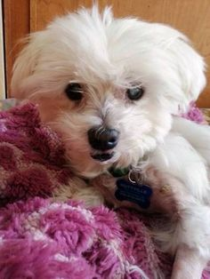 """""""Being blind is no big deal"""" This is Fresca, a sweet adoptable senior dog via Muttville"""