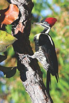 Pica-Pau-da-Banda-Branca ----------- ( Dryocopus lineatus) - ( Fêmea ) - México e América do Sul