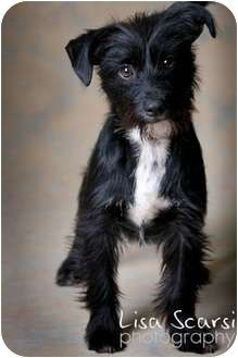 Image Result For Mini Schnauzer Mixed With Scottie Schnauzer Mix Mini Schnauzer Scottie