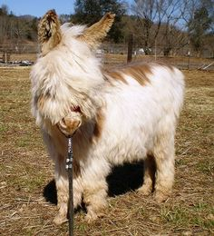 Our wooly program focuses on donkeys of ALL colors. We have a soft spot for the spots. We currently have two micro miniature jacks standing at stud and one . Baby Donkey, Cute Donkey, Mini Donkey, Cute Funny Animals, Cute Baby Animals, Farm Animals, Animals And Pets, Pretty Horses, Beautiful Horses
