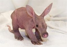 Behbeh aardvark! Hahaha it's Arthur!! It's so ugly it's cute!
