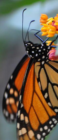 Monarch Butterfly in my garden.