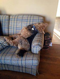 """Airedale Sleep Position # 134"""