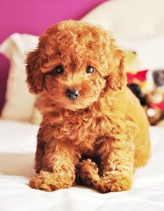 teddy bear puppy/maltipoo (maltese poodle mix) OMG! Reminded me of my  litter puppies!!! So stickin CUTE!  =')