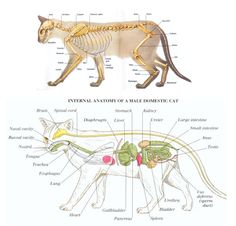 Cat Care 101 Anatomy of a cat - Tube feeding kittens is something every cat breeder will need to do at some point. This article will help breeders experiencing this for the first time. Siamese Cat Breeders, Siamese Cats, Feeding Kittens, Cat Skeleton, Cat Brain, Cat Anatomy, Vet Assistant, Animal Science, Hamster