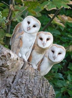From fluffy chicks to birds of prey: The pictures which capture the transformation of growing barn owls - These 3 barn owl chicks are only days from fledging and have appeared at the entrance to their nest - Owl Photos, Owl Pictures, Beautiful Owl, Animals Beautiful, Animals And Pets, Cute Animals, Owl Bird, Mundo Animal, Pretty Birds
