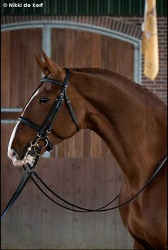 Who says a roman noses is a fault? It is Baroque and these Spanish horses are beautiful as well as athletic.