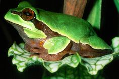most poisonous frog | beautiful picture of a Pine barren tree frog