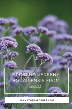Sowing and growing verbena bonariensis from seed. Garden Yard Ideas, Flower Garden, Seed Germination, Blue And Purple Flowers, Seeds, Garden Pictures, English Cottage Garden, Verbena, Growing Flowers