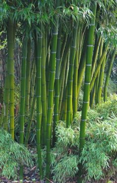 Bamboo Art, Bamboo Garden, Bamboo Plants, Outdoor Plants, Bamboo Species, Motif Tropical, Garden Fountains, Plantation, Green Life