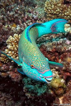 'Parrotfish' changes itself from Female to Male. Almost all Parrotfish species are sequential hermaphrodites, starting as females (known as the initial phase) and then changing to males (the terminal phase). Parrotfishes are a group of approximately ninety species of fishes traditionally regarded as a family (Scaridae), but now often considered a subfamily (Scarinae) of the wrasses.