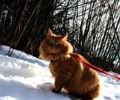 Jesperpus jesper the ginger Norwegian Cat Little furry explorer!