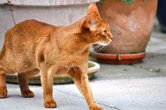 red cat Lula