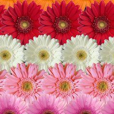 Be Diff - Estampas florais | Jardim de Gérberas by Laura Fernandez