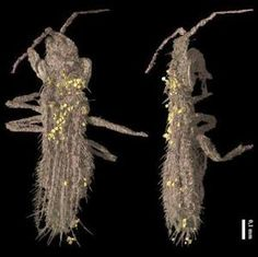 Gymnopollisthrips - #Bee Precursor From 100 Million Years Ago Found In Amber