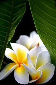 ~~Plumeria acutifolia (frangipani) by Nico Nelson~~