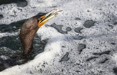 Double-crested Cormorant catches a fish | The Seattle Times