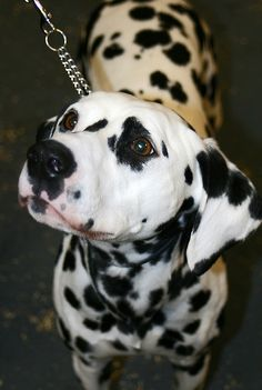 Dalmatian    Like and repin please :)