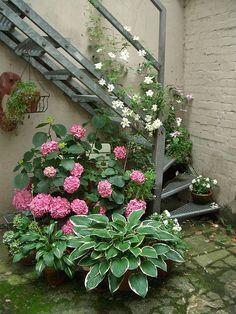 Hostas, Hydrangeas and clematis in pots create an urban garden