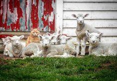 ACTU Animaux - Trop mignon : Steve, le chat qui se prend pour un agneau