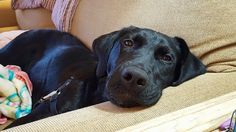 Eli is a 5 month old, 40 pound, black male lab! He's friendly and full of life and love! Elis is good with dogs, cats, and kids! He is housebroken and good in the crate.