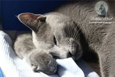Russian Blue Mom and Baby