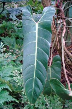 PHILODENDRON BERNARDOPAZII aka SUPERBUM *Rare Aroid* Glossy Leaves +White Veins