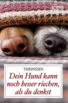 Hunden wird ja ein feiner Geruchsinn nachgesagt. Was sie tatsächlich alles erschnuppern können? 4 Fakten zur Hundenase. #hund #hunde #hundenasen #tiere #tierwissen #weltdertiere #tierischeswissen #servus #servusmagazin #servusinstadtundland Labrador, Animals, Weenie Dogs, Too Busy, Knowledge, Animales, Animaux, Labradors, Animal