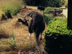 Bellinzona Kangaroo