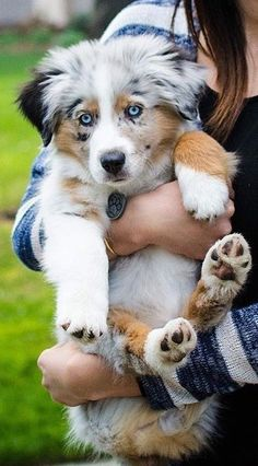 Australian Shepherd Puppies: Pictures And Facts Australian Shepherd Puppies: Pictures And Facts,Animals After some selective crossbreeding with English imports like the Border Collie, the Australian Shepherd breed as we know it today was created. Super Cute Puppies, Cute Baby Dogs, Cute Little Puppies, Cute Dogs And Puppies, Cute Little Animals, Cute Funny Animals, Doggies, Puppies Stuff, Doggy Stuff