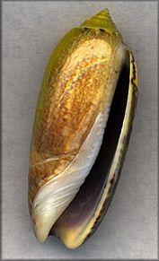 Oliva sayana Ravenel, 1834 Green   Live collected on sand bar near Black Island, St. Joseph Bay, Florida, July, 1999 (52 mm.) | Digital images By Jim Miller