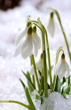 Snowdrop is small plant that can reach to 12 inches in height. Snowdrops announce arrival of spring. They are one of the first plants that appear while the ground is still covered with snow. In the language of flowers they symbolize hope in adversity. White Flowers, Beautiful Flowers, Language Of Flowers, Spring Sign, Winter Beauty, White Gardens, Plantation, Winter Garden, Yule